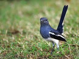 Magpie-robin