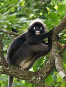 spectacled-leaf-monkey_0415