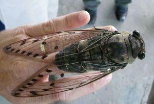 empress cicada