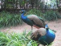 Peacocks in the garden