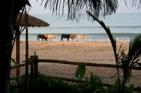 Cows enjoying the beach in the early morning