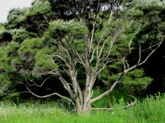 Beautiful tree in Raglan