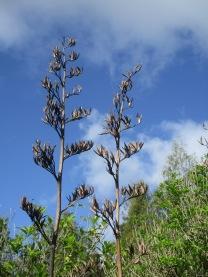 The distinctive smell of harekeke