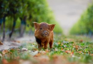 yealands_pig_tall-jpg-653x0_q80_crop-smart