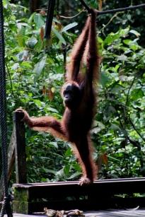 Acrobatic orangutan