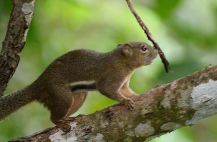 Borneo squirrel