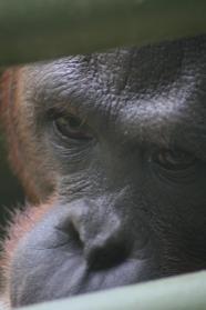Close up of orangutan