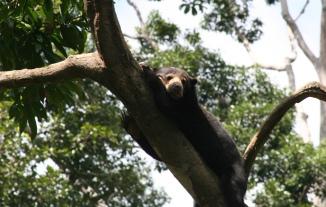Relaxed sun bear